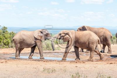 Elefantenbullen in einem Test der Stärke