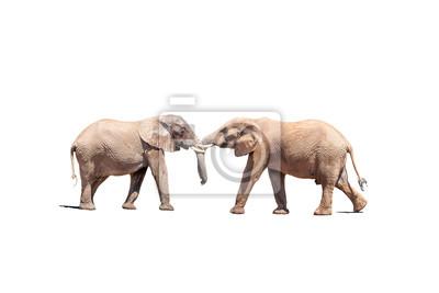 Elefantenbullen in einem Test der Stärke getrennt im Weiß