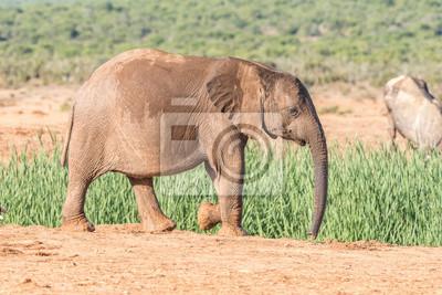 Elefantenkalb zu Fuß