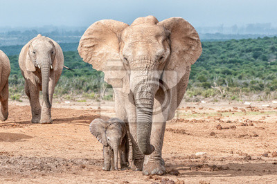 Elefantenkalb zu Fuß neben seiner Mutter