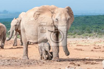 Elefantenkalb zu Fuß zwischen den Mütterbeinen