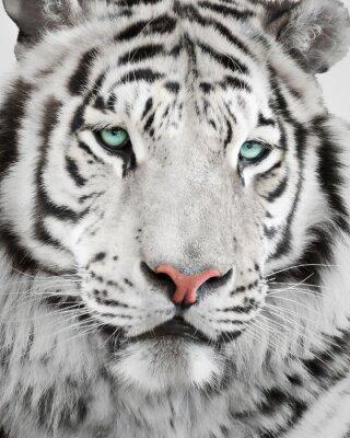 Poster Elegantes weißes Tigerporträt