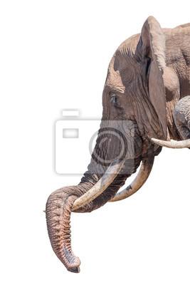 Elephant ruht seinen Stamm isoliert in weiß