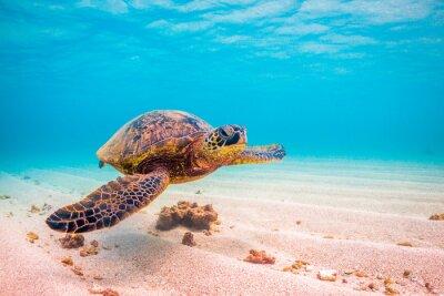 Poster Endangered Hawaiian Green Sea Turtle Kreuzfahrten in den warmen Wasser des Pazifischen Ozeans in Hawaii