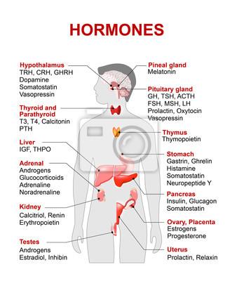 Endokrine drüse und hormone wandposter • poster Nebennieren ...