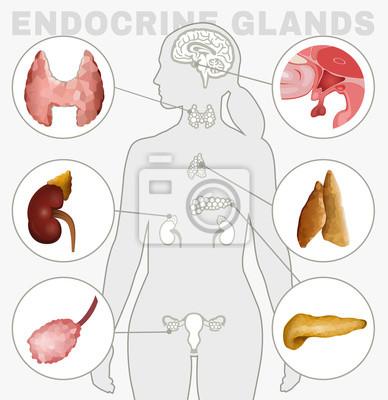 Endokrine drüsen bild wandposter • poster Nebennieren ...
