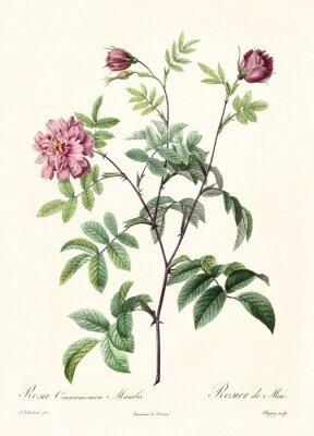 Poster Erstellt von PR Redoute, veröffentlicht auf Les Roses, Imp. Firmin Didot, Paris, 1817-24