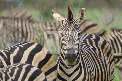 Erwachsenes Zebraportrait