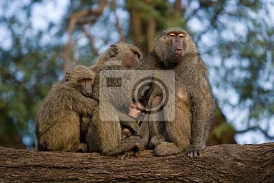 Familie der Paviane auf dem Baum. Kenia.