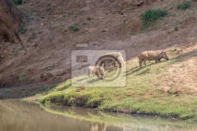 Family of warthogs grazing next to the Levuvhu River