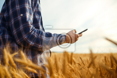 Poster Farmer Checking Wheat Field Progress, Holding Phone and Using Internet .Copy Space Of The Setting Sun Rays On Horizon In Rural Meadow. Close Up Nature Photo Idea Of A Rich Harvest