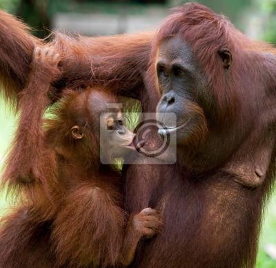 Female orangutan with a baby