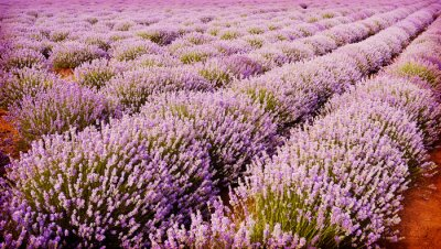 Poster Field of lavender flowers