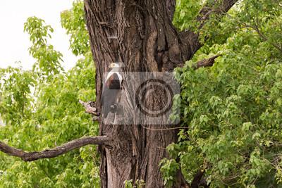 Fish Eagle auf Baum