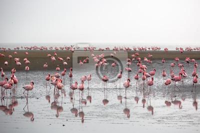 Flamingos in Wallis Bay, Namibia, Africa