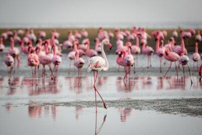 Flamingos in Wallis Bay, Namibia, Afrika