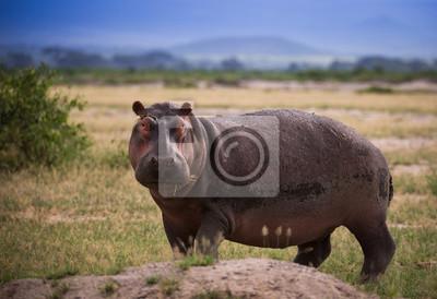 Flusspferd auf der afrikanischen Savanne
