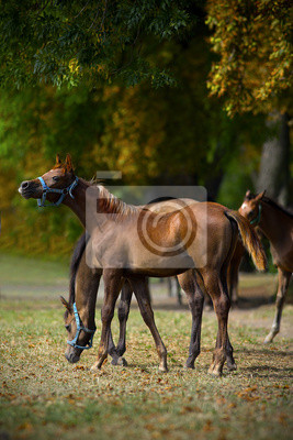 foals playing on the meadow