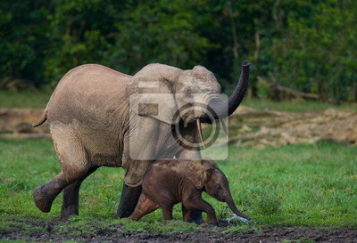 Forest elephant with a baby. Jungle.