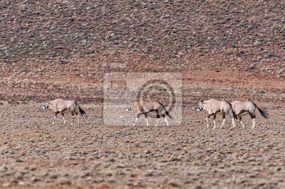 Four oryx, Oryx gazella, in the Tankwa Karoo