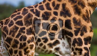 Fragment of a giraffe skin. Uganda.