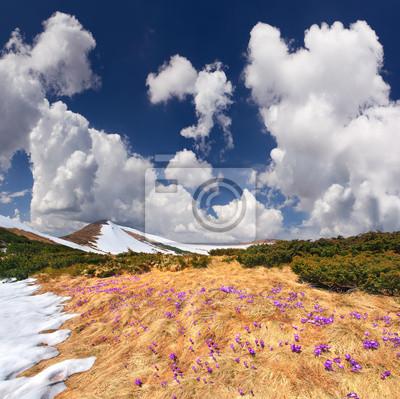 Frühlingslandschaft in den Bergen mit dem Feld der Blüte Krokusse