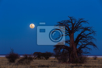 Full moon at blue hour next to baobab tree