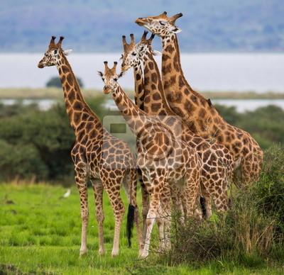 Fünf Giraffen in der Savanne. Uganda.