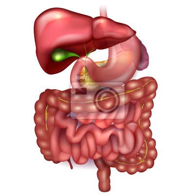 Gastrointestinaltrakt, leber, magen und anderen umliegenden organen ...