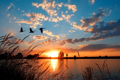 Poster Geese flying over a beautiful sunset.