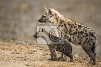 Gefleckte Hyäne im Krüger-Nationalpark, Südafrika