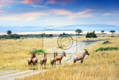 Gefüllte Antelope ( Damaliscus korrigum )