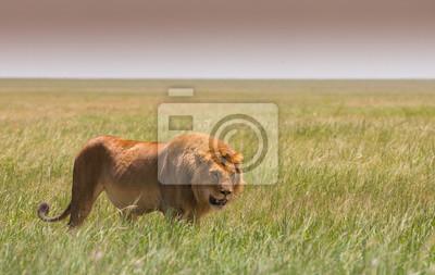 Gehender großer Löwe auf afrikanischer Savanne