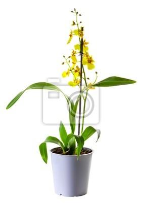 Gelbe Oncidium Orchidee im Blumentopf isoliert auf weiß