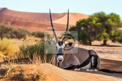 Poster Gemsbok, or South African oryx (Oryx gazella) lying on the sand in Sossusvlei dunes, Namibia.