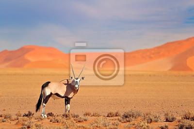 Poster Gemsbok with orange sand dune evening sunset. Gemsbuck, Oryx gazella, large antelope in nature habitat, Sossusvlei, Namibia. Wild animals in the savannah. Animal with big straight antler horn.