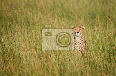 Gepard auf afrikanischer Savanne