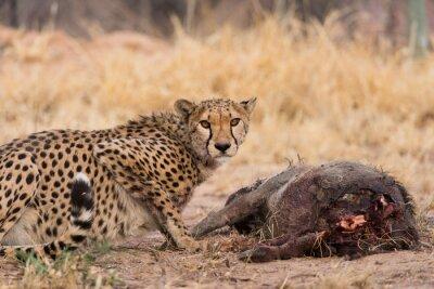 Gepard auf Warzenschwein töten