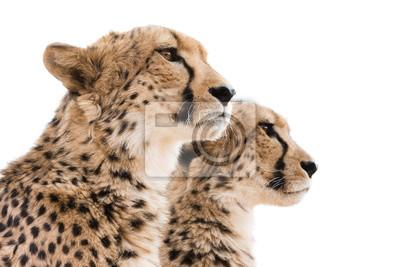 Geparden Portrait weißen Hintergrund