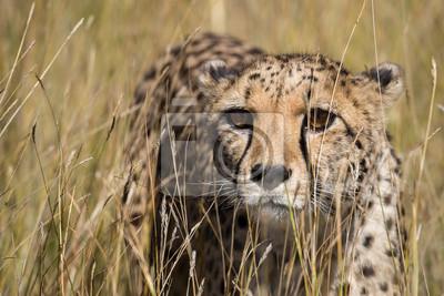 Gepardenporträt im hohen Gras