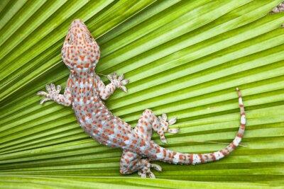Poster Gepunkteter Gecko auf einer grünen Blattpalme.