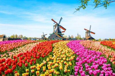 Poster Gestalten Sie mit Tulpen, traditionellen niederländischen Windmühlen und Häusern nahe dem Kanal in Zaanse Schans, die Niederlande, Europa landschaftlich