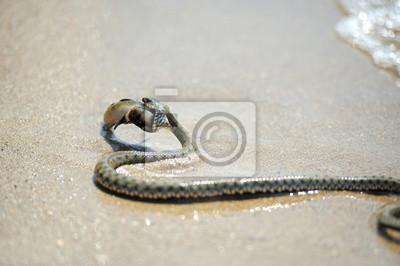 Giftschlange