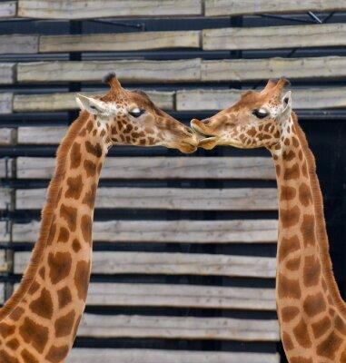 Poster Girafes, baiser