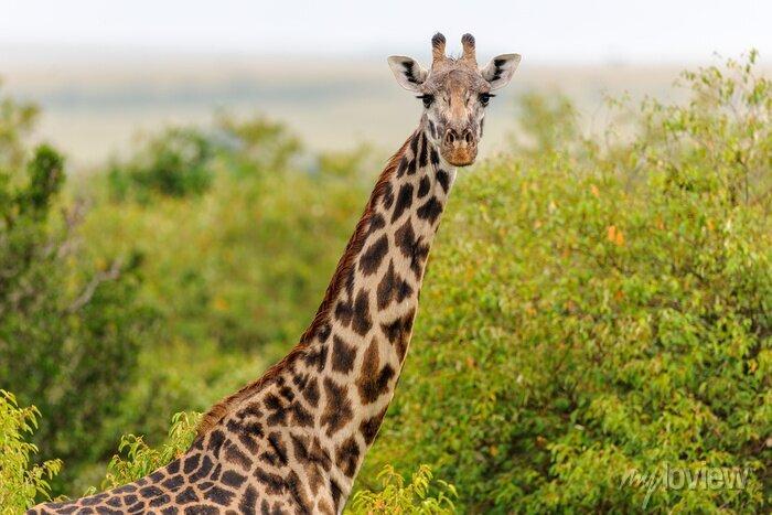 Poster Giraffe