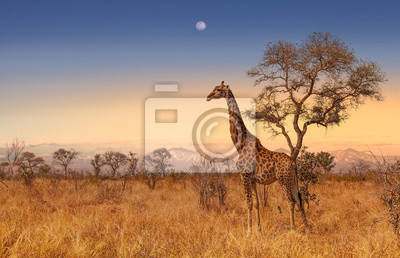 Poster Giraffe at dawn in Kruger park South Africa