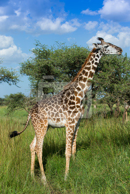 Giraffe auf afrikanischen savanne