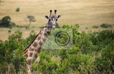 Giraffe auf afrikanischer Savanne