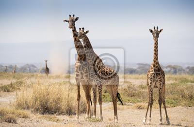Giraffe auf der heißen afrikanischen Savanne