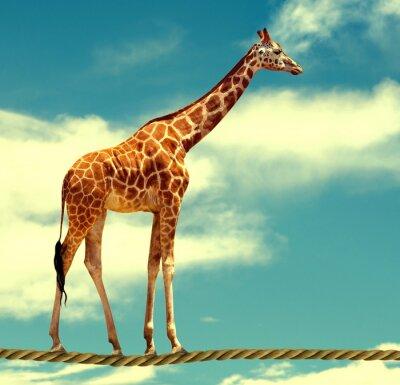 Poster Giraffe auf Seil